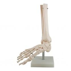 Squelette plastique du pied